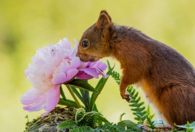 squirrel smells on the flower garden peony